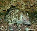 Bodlín Telfairův (Echinops telfairi)