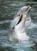 Delfín skákavý (Tursiops truncatus)