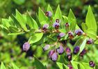 Die Myrte (Myrtus communis)