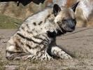Hyena žíhaná (Hyaena hyaena)