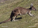Klokan velký (Macropus fuliginosus)