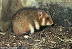 Křeček polní (Cricetus cricetus)
