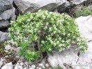 Lýkovec olejový (Daphne oleoides)