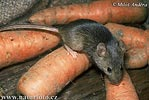 Myš domácí (Mus musculus)