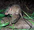 Myš nilská (Arvicanthis niloticus)