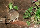 Myšice malooká (Apodemus uralensis)