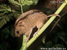 Myšivka horská (Sicista betulina)