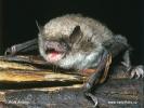 Netopýr Brandtův (Myotis brandtii)