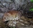 Norník rudohřbetý (Clethrionomys gapperi)