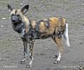 Pes hyenový (Lycaon pictus)