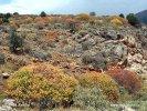Pryšec dřevnatý (Euphorbia dendroides)