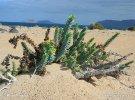 Pryšec pobřežní (Euphorbia paralias)