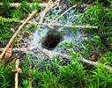 Punčoškář zemní, ústí nory s pavučinou (Coelotes terrestris)