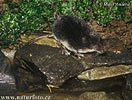 Rejsec vodní (Neomys fodiens)