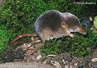Rejsek obecný (Sorex araneus)
