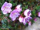 Růžokeřník cistovitý (Rhodothamnus chamaecistus)
