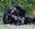Šimpanz (Pan troglodytes)