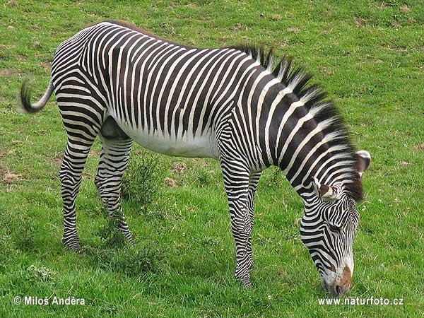 http://www.naturfoto.cz/fotografie/andera/zebra-grevyho-5652.jpg