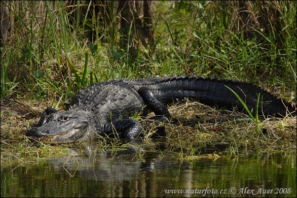Aligátor americký (Alligator mississippiensis)