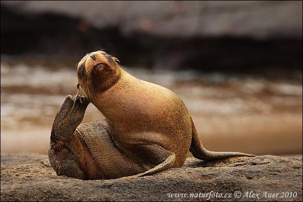 Lachtan mořský (Zalophus wollebacki)