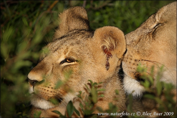 Lev (Panthera leo)
