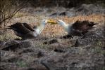 Albatros galapážský (Phoebastria irrorata)