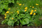 Caltha palustris