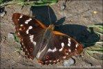 Dúhovec menší (Apatura ilia)