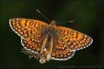 Hnědásek kostkovaný (Melitaea cinxia)