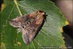 Kovolesklec tolitový (Abrostola asclepiadis)