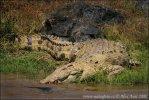 Krokodíl nílsky (Crocodylus niloticus)