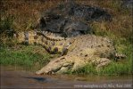 Krokodýl nilský (Crocodylus niloticus)
