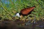 Ostnák africký (Actophilornis africanus)