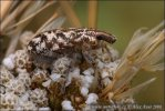 Rýhonosec skvrnitý (Cyphocleonus dealbatus)