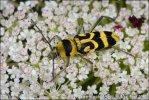 Tesařík (Chlorophorus varius)