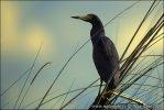 Volavka hnědobřichá (Ardeola rufiventris)