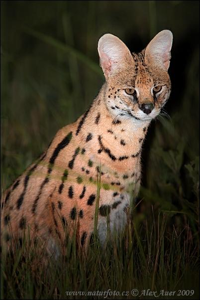Serval stepní (Leptailurus serval)