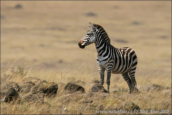 """Obrázek """"http://www.naturfoto.cz/fotografie/auer/zebra-stepni-bohmova-IMG_0013amw.jpg"""" nelze zobrazit, protože obsahuje chyby."""