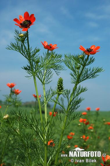 Hlaváček letní ( adonis aestivalis )