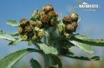 Bielolístok barinný (Gnaphalium uliginosum)