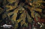 Chaluha pilovitá (Fucus serratus)