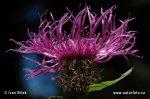 Chrpa parukářka (Centaurea pseudophrygia)