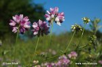 Čičorka pestrá (Coronilla varia)