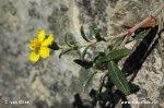 Devaterník šedý (Helianthemum canum)