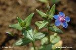 Krytosemenné rostliny s modrými květy