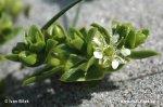 Honckenya peploides (Honckenya peploides)