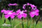 Hvozdík lesní (Dianthus sylvaticus)