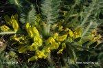 Kozinec bezlodyžný (Astragalus exscapus)