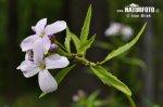 Kyčelnice cibulkonosná (Dentaria bulbifera)