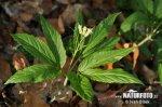 Kyčelnice devítilistá (Dentaria enneaphyllos)